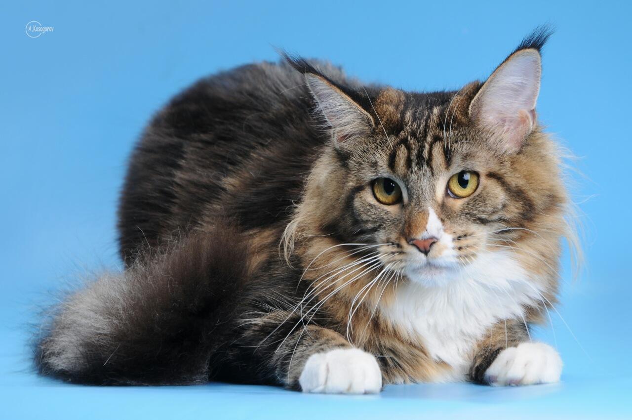 Kittens - Reino Felino Maine Coon Cattery Kiev Ukaraine